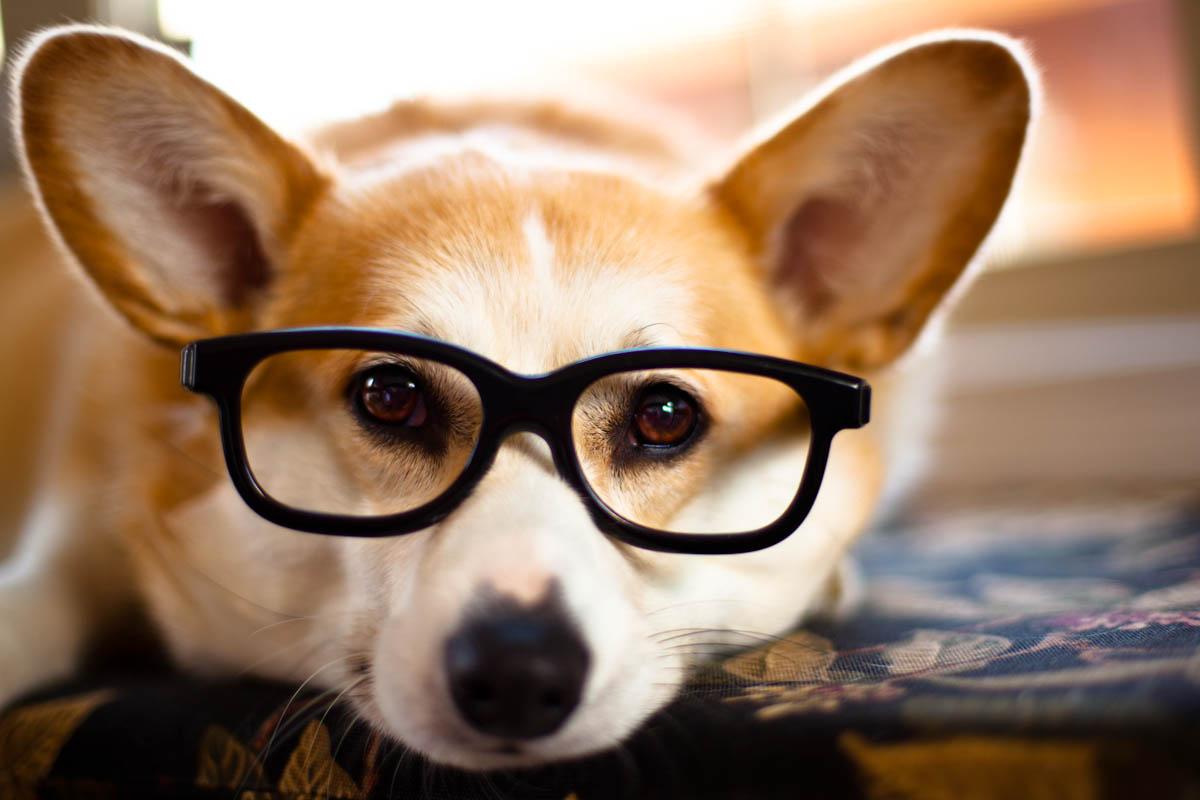 corgi-in-glasses-big